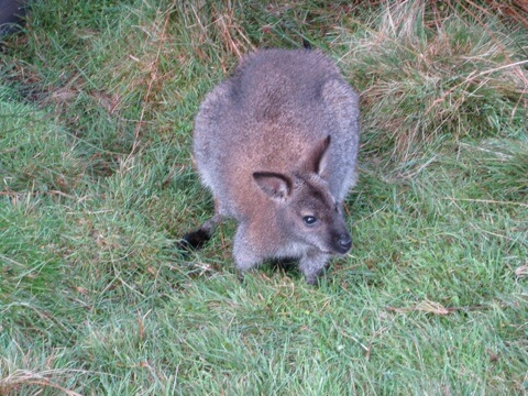a Bennetts wallaby grazing close to our cabin